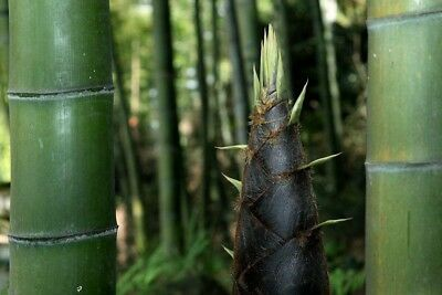 "Pesa 1000g  Phyllostachis pubescens moso bamboo,Bambos moosoo""Bambù gigante"""