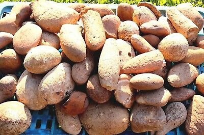 4 Kg Flint Round Stones Natural Chert for Decoration Knapping from the Holy Land