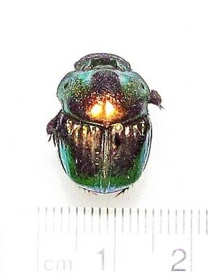 One Real Red Form Phanaeus Demon Female Scarab Dung Beetle Pinned