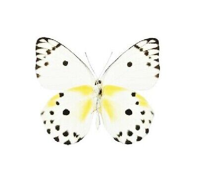 One Real Butterfly White Black Yellow Pieris Calypso Unmounted Wings Closed