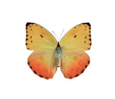 One Real Butterfly Pink Red Orange Phoebis Philea Female Unmounted Wings Closed