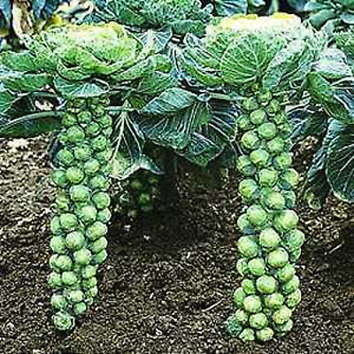 """Brussel Sprouts """"Long Island"""" Compact Great For Small Gardens Heirloom Seeds"""