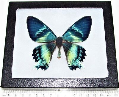 Real Framed Day Flying Moth Blue Green Alcides Orontes Indonesia