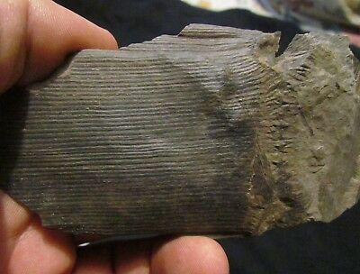 Calamite Tree Fossil With Branch Scars - Carboniferous Pennsylvanian Period