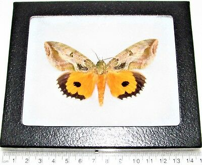 Real Framed Fruit Piercing Moth Yellow Eudocima