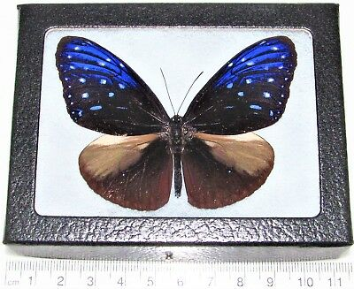 Real Framed Butterfly Blue Euploea Danaidae Crow Indonesia