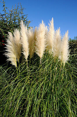 White Pampas Grass -  Cortaderia Selloana - 3 potted fully rooted live clumps