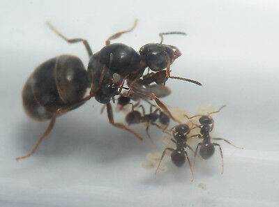 Live Queen Ant colony - Lasius niger with Brood Black and 1-5 workers
