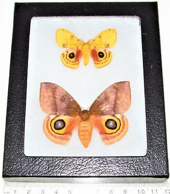Real Framed Saturn Moths Pink Yellow Automeris Io Pair Male Female Indiana