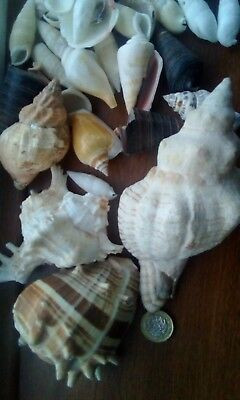 Seashells Assorted Sizes for Crafts Decoration Large and Small Shells