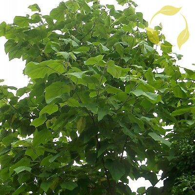 PRINCESS TREE Paulownia Tomentosa - 500 SEEDS. FREE S&H