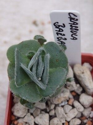Crassula barbata