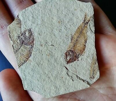 Knightia sp. / Fossil fish/ From Wyoming, USA.