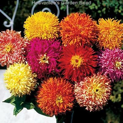 ZINNIA GIANT CACTUS FLOWER COLOR MIX  Annual SEEDS