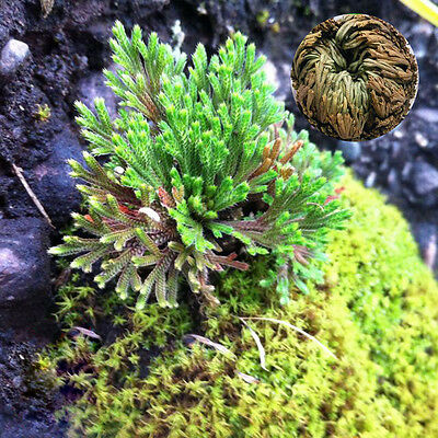 Live Resurrection Plant Rose Of Jericho Dinosaur Air Fern Spike Moss Finest