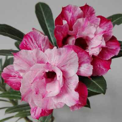 2PCS DESERT ROSE Red Pink Flower Seeds Double Adenium obesum Bonsai Home  Garden