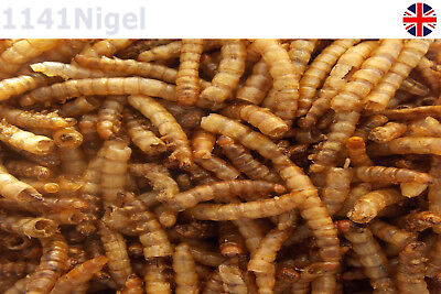 Quality Dried Mealworms Bird Food   ....     (Pack of 10g-100g)