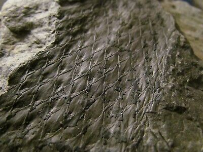 Lepidodendron (Scale Tree) Fossil - Carboniferous Pennsylvanian Period