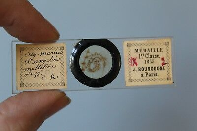 Very Fine Antique Microscope Slide Marine Algae By Joseph Bourgogne 1805-1885