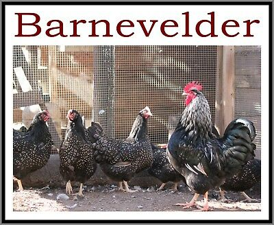 12+ Silver Double Laced Barnevelder Large Fowl Hatching Eggs Greenfire