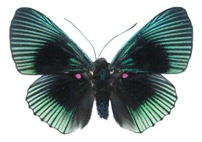 Wings Spread Mounted Pinned Real Blue Green Lyropteryx Apollonia Butterfly Peru