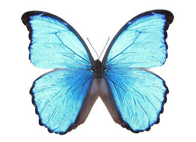 Wings Spread Mounted Pinned Real Blue Morpho Didius Butterfly Peru