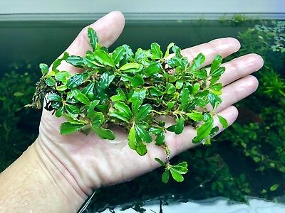 Bucephalandra sp. Green Light WYSIWYG - Rare Live Aquarium Plants Freshwater