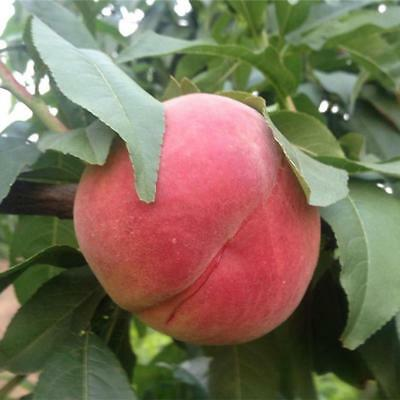 5pcs Peach Tree Seeds Sweet Delicious Fruit Bonsai Seeds Dwarf Peach Tree
