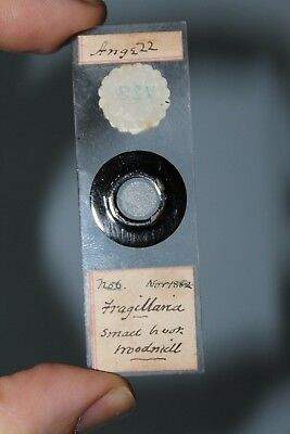 "Antique Microscope Slide Diatom ""fragilaria"""
