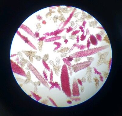 "Antique Microscope Slide  ""spicules Of Gorgonia"""