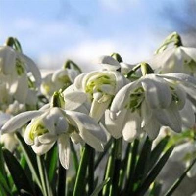 DOUBLE SNOWDROPS IN THE GREEN RHS AGM Grown in Norfolk - 25 |  50 | 100 | 250
