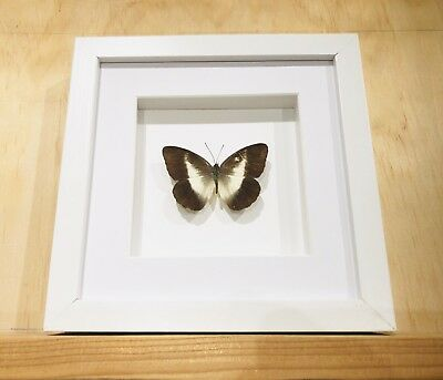 Real Framed Pieridae Perimale Butterfly , Insect Taxidermy