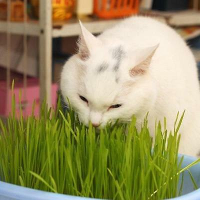 30gms Sweet Oat Grass Seeds Grown In Sussex For Cats And Other Pets Health