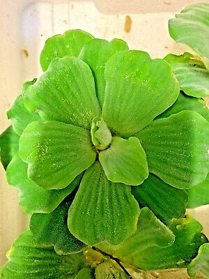 Pistia Stratiotes  Water Lettuce Live Aquarium  Pond Floating Plant x 2