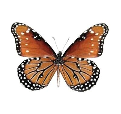 One Real Butterfly Monarch Mimic Danaus Gilippus Queen Verso Wings Closed