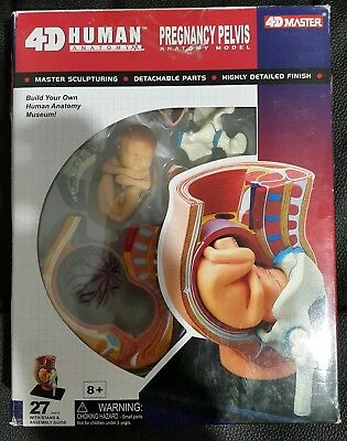4D Human Anatomy - Pregnancy Pelvis Anatomy Model - New but scruffy box