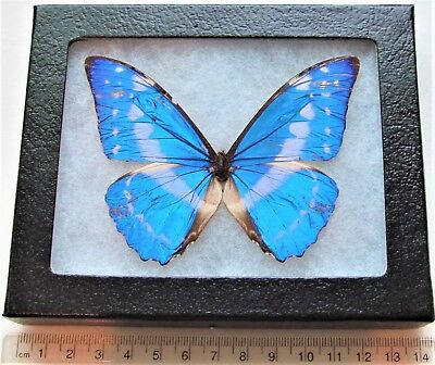 Real Framed Butterfly Blue White Morpho Cypris Colombia