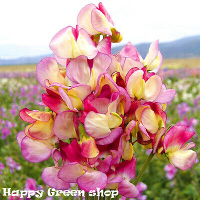 SWEET PEA - SPANISH DANCER - 30 seeds - FLOWER