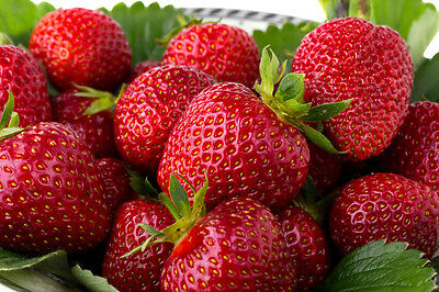 100 Quinault EverBearing Strawberry Plants- Great for hanging baskets/containers