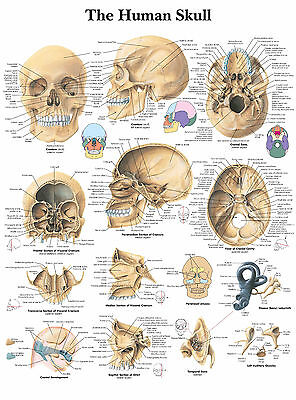 A3 Medical Poster – The Human Skull (Text Book Anatomy Picture Pathology Doctor)