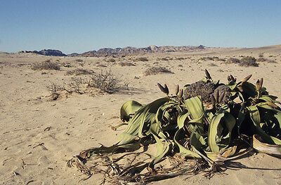 Welwitschia Mirabilis Welwitschia Namibia Can Grow 2000 years old * 5 Rare seeds