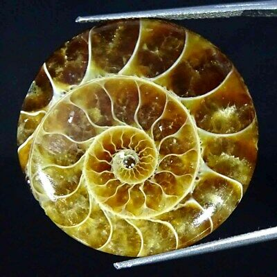 36.10Cts Natural Ammonite Fossil Round Cabochon Loose Gemstone