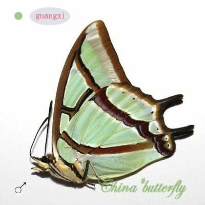 unmounted butterfly Nymphalidae Polyura narcaea GUANGXI SPRING FORM A1