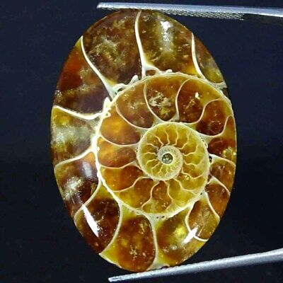 38.30Cts Natural Ammonite Fossil Oval Cabochon Loose Gemstone