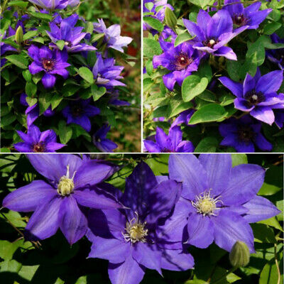 50Pcs Mixed Color Clematis Flower Seeds Garden Balcony Climbing Plants Seeds GIL
