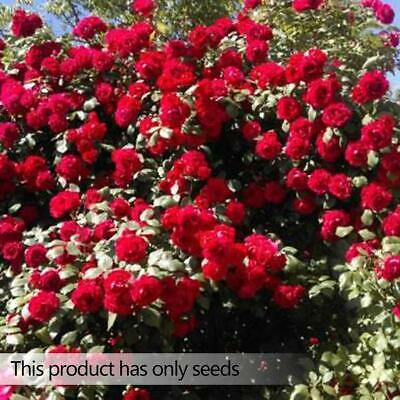 100pcs Pink red Climbing Rose Seeds Perennial Flower Garden Decor Plant-Seed