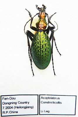 Carabus acoptolabrus constricticollis (male A1) from CHINA (Carabidae)