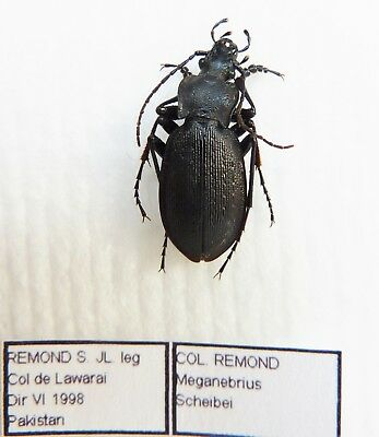 Carabus meganebrius scheibei (male A1) from PAKISTAN (Carabidae)