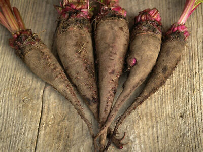 French heritage heirloom beet root seeds CRAPAUDINE  organic seed from FRANCE
