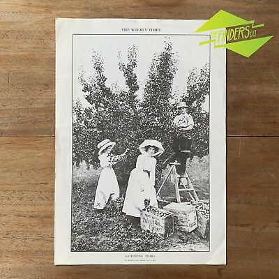 "VINTAGE 1970's 'THE WEEKLY TIMES' NOV 1911 PRINT ""GATHERING PEARS"" POSTER"